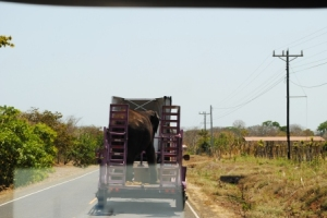 I've seen trucks carrying all sorts of livestock, but an elephant!