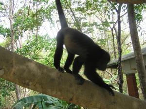 Howler Monkey Pedasi