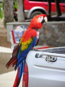 Macaw at La Playita Resort, Pedasi