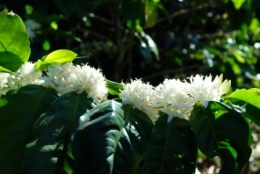 Coffee In Bloom