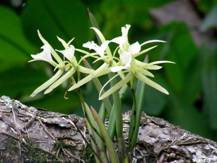Wild orchids at Boca Chica